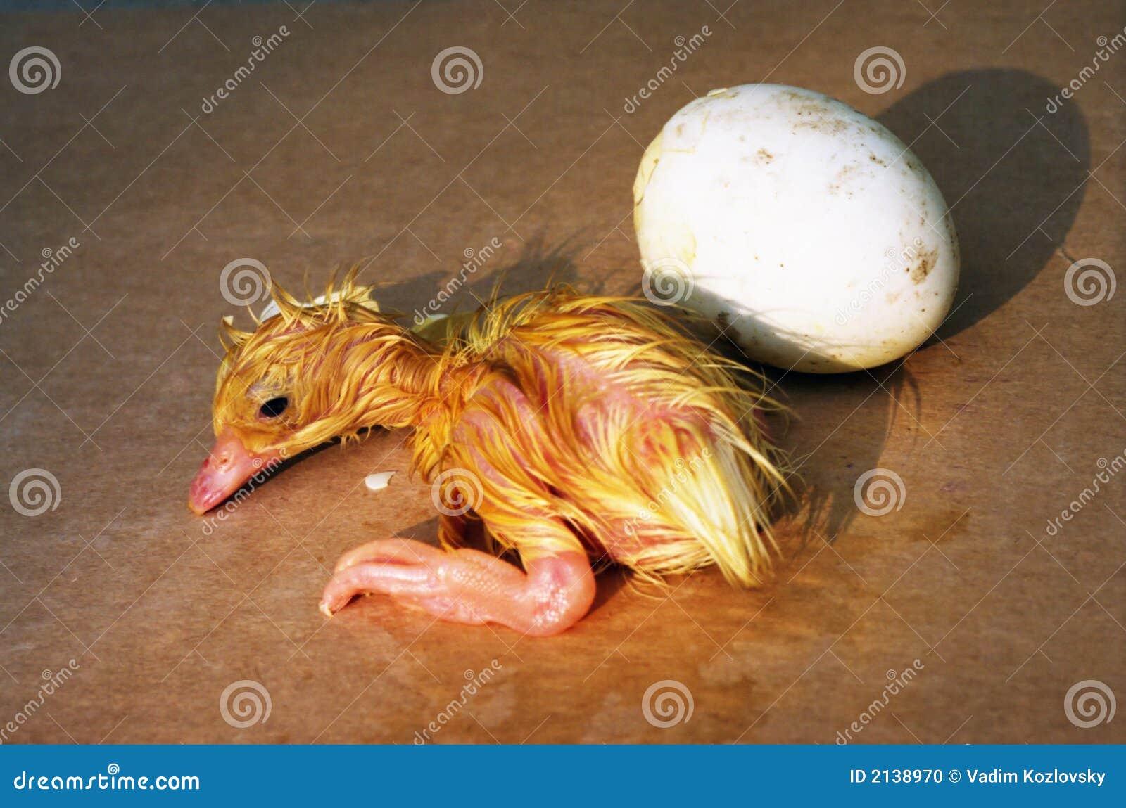 newborn duck stock photo