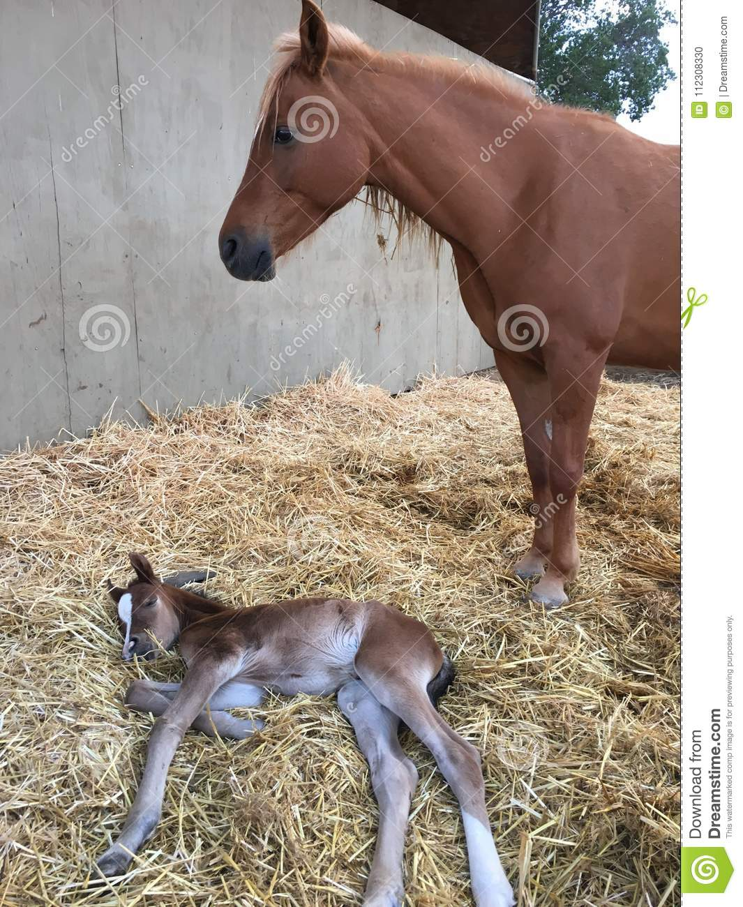 Newborn Filly And Mom Standing Guard Beautiful Baby Horse And Chestnut Color Mom Stock Photo Image Of Brown Horse 112308330