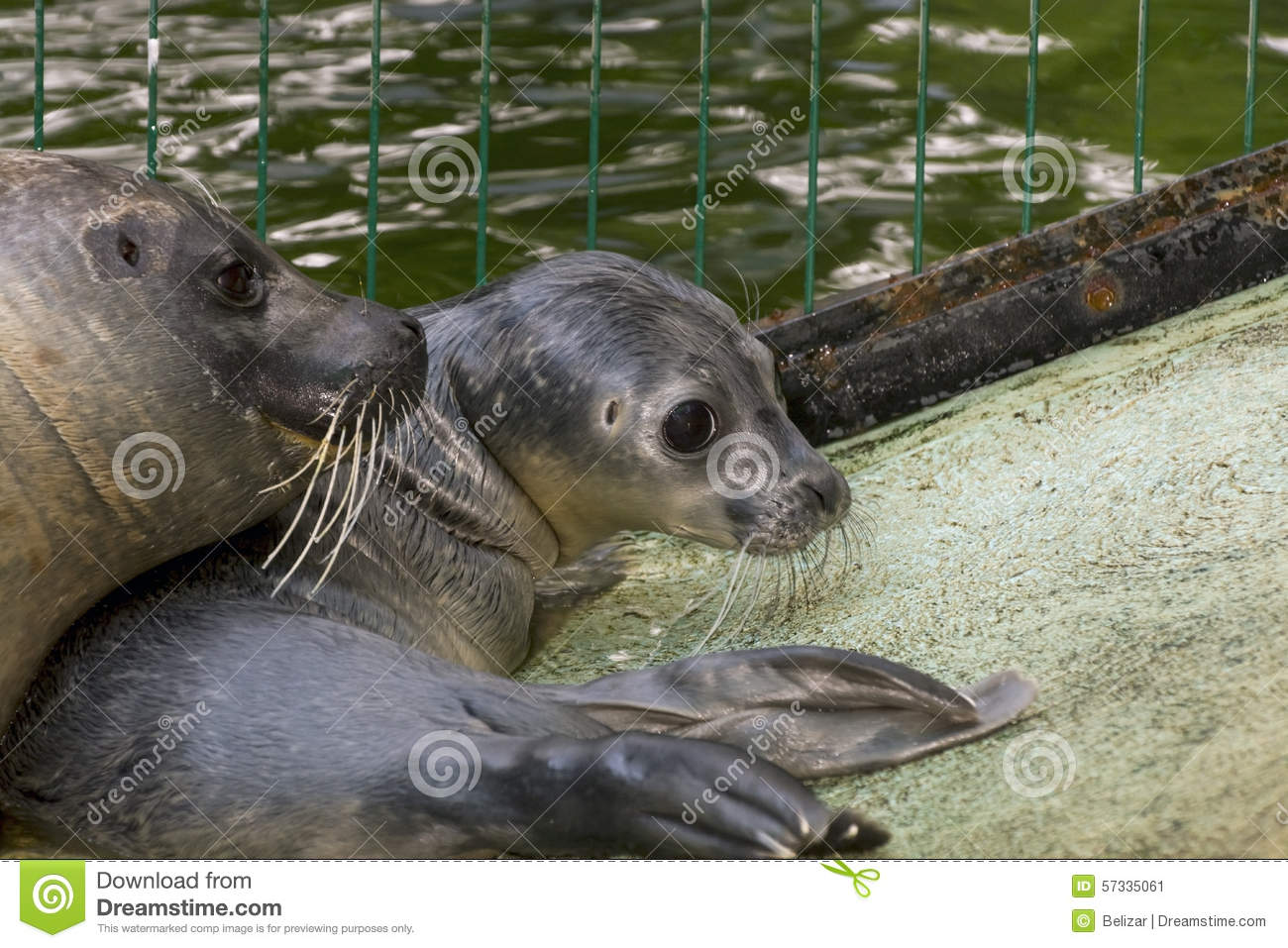 Newborn Harbour Seal (Phoca Vitulina) Stock Photo - Image ...
