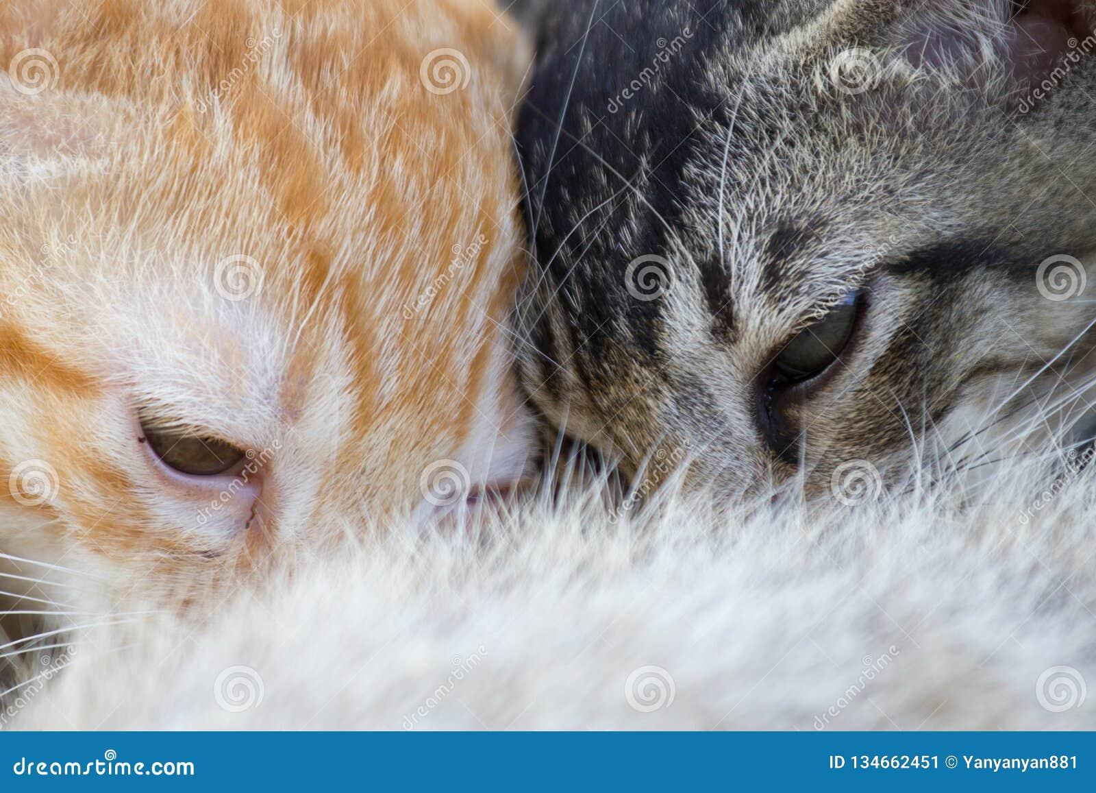 Newborn kittens drink milk from mother`s breast