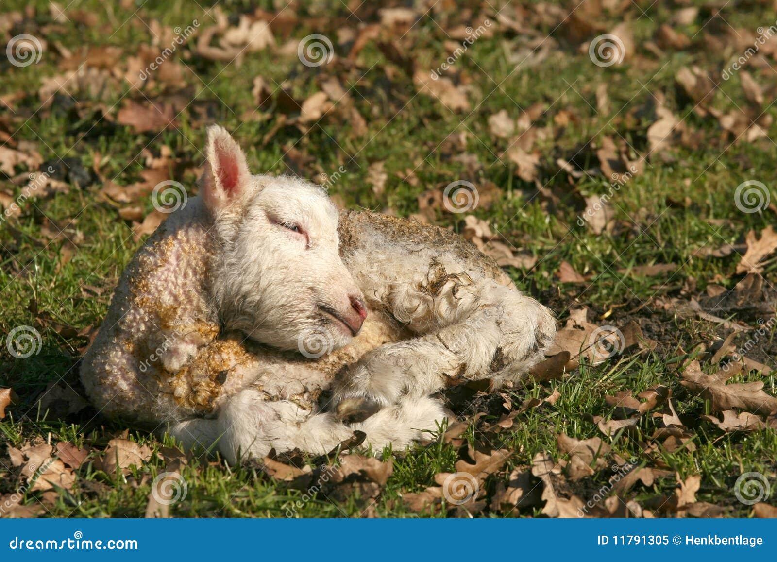 Newborn Lamb Sleeping Royalty Free Stock Photo - Image: 11791305