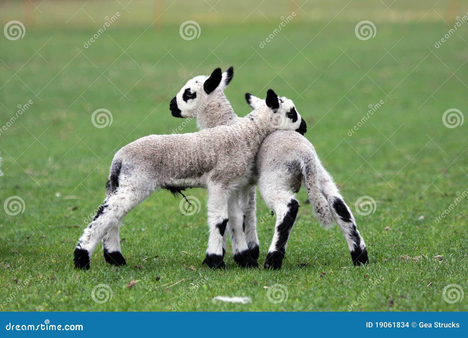 Newborn Lamb Twin Stock Image - Image: 19061741