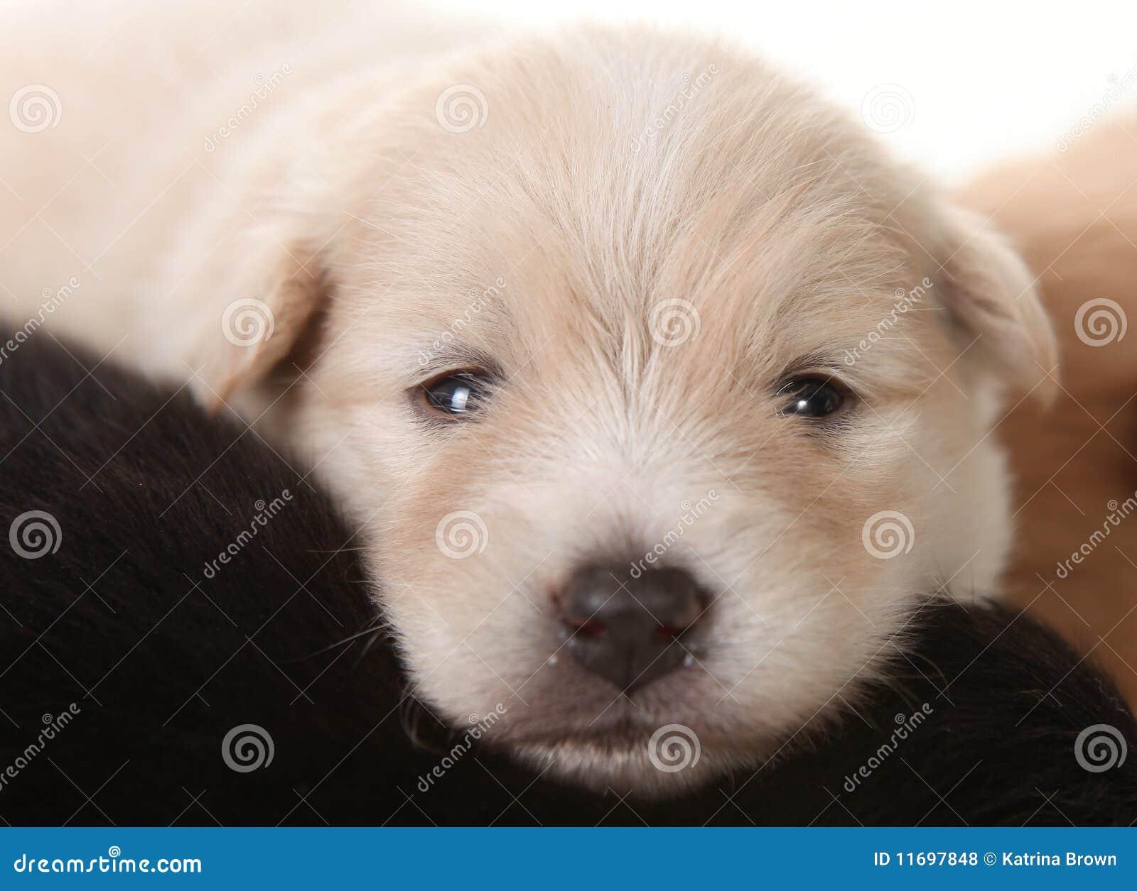Newborn Pomeranian White Puppy Eyes Open Stock Photo Image Of