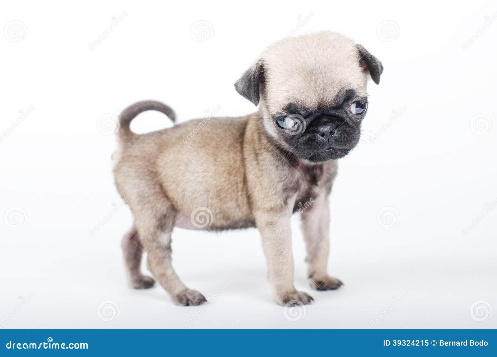 Newborn Pug Puppy Stock Photo - Image: 39324215