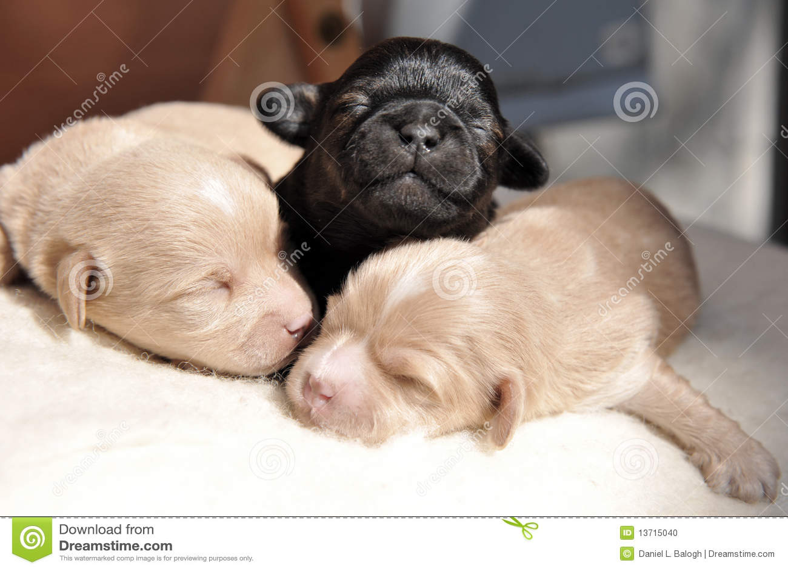 Newborn Puppies Stock Photo Image 13715040