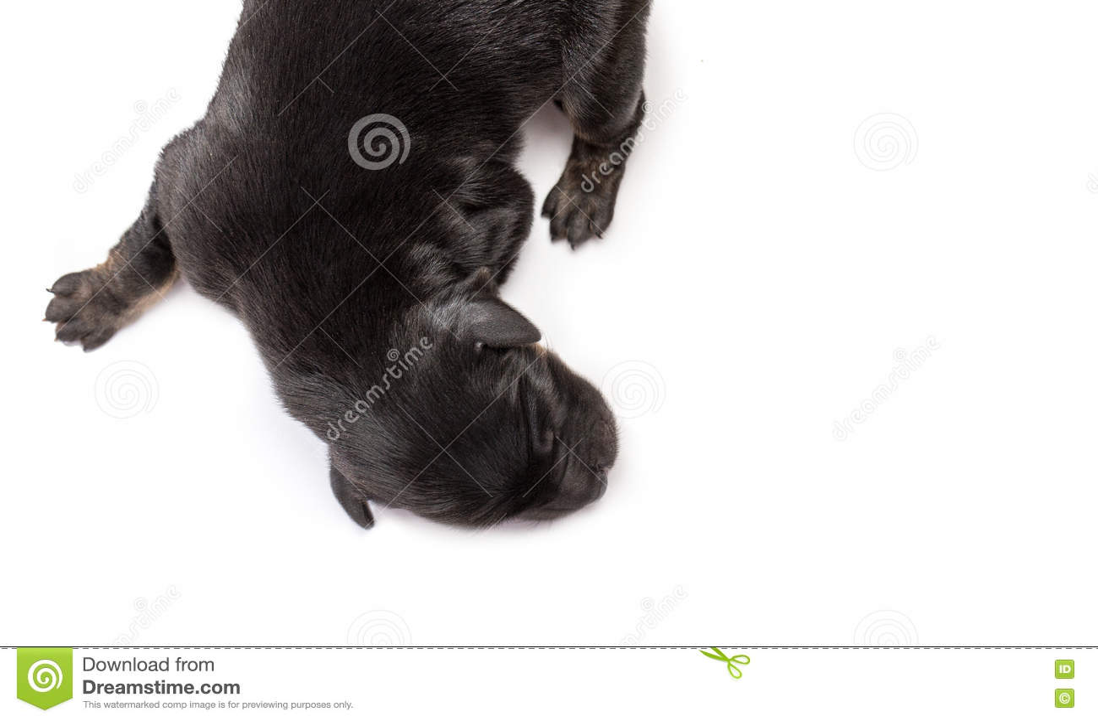 Newborn Puppy Dog Sleeping Black Labrador Retriever Stock