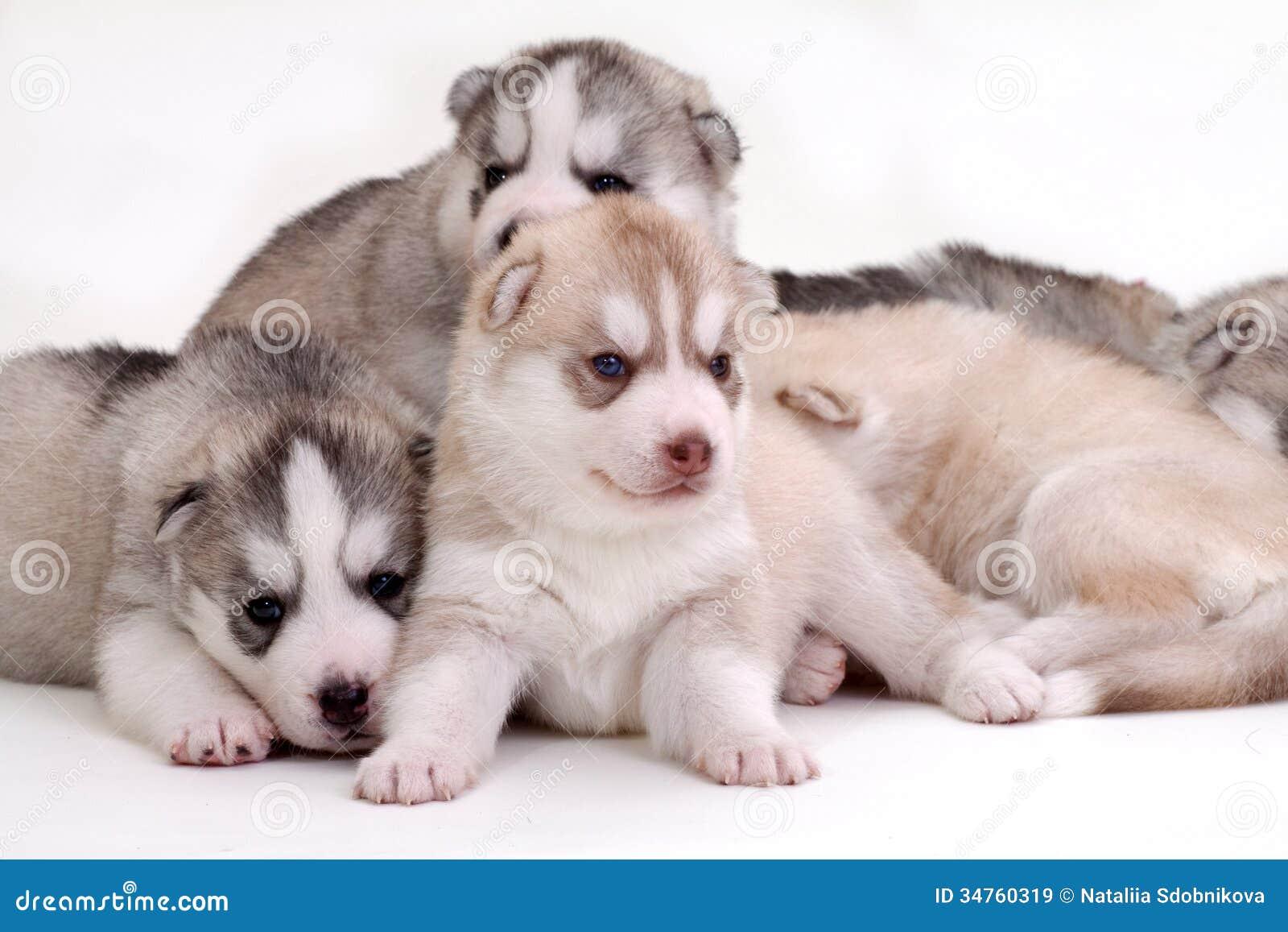 Husky Newborn Puppies