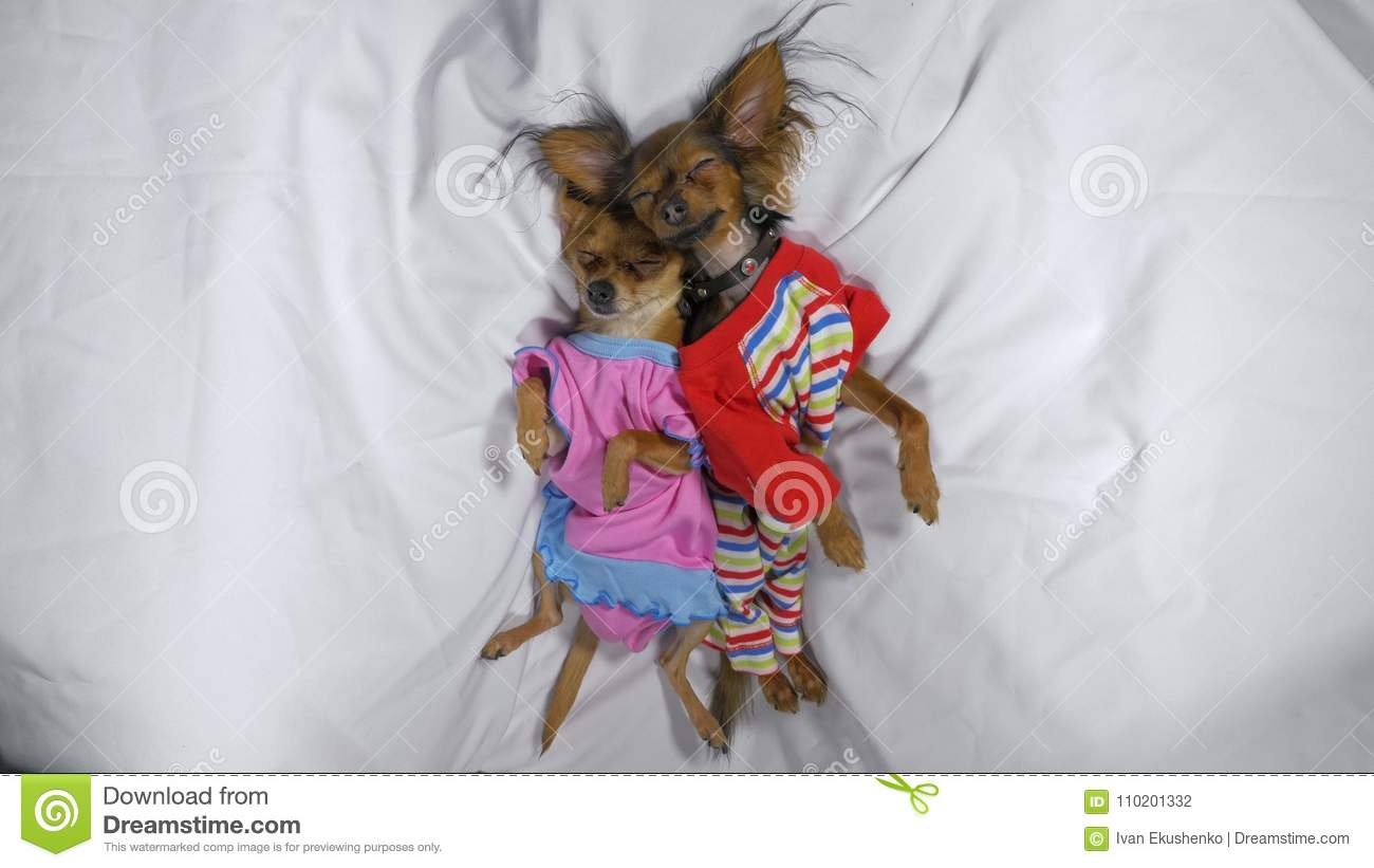 Newborn puppys sleeping. Adult small dogs Toy Terriers in pajamas.