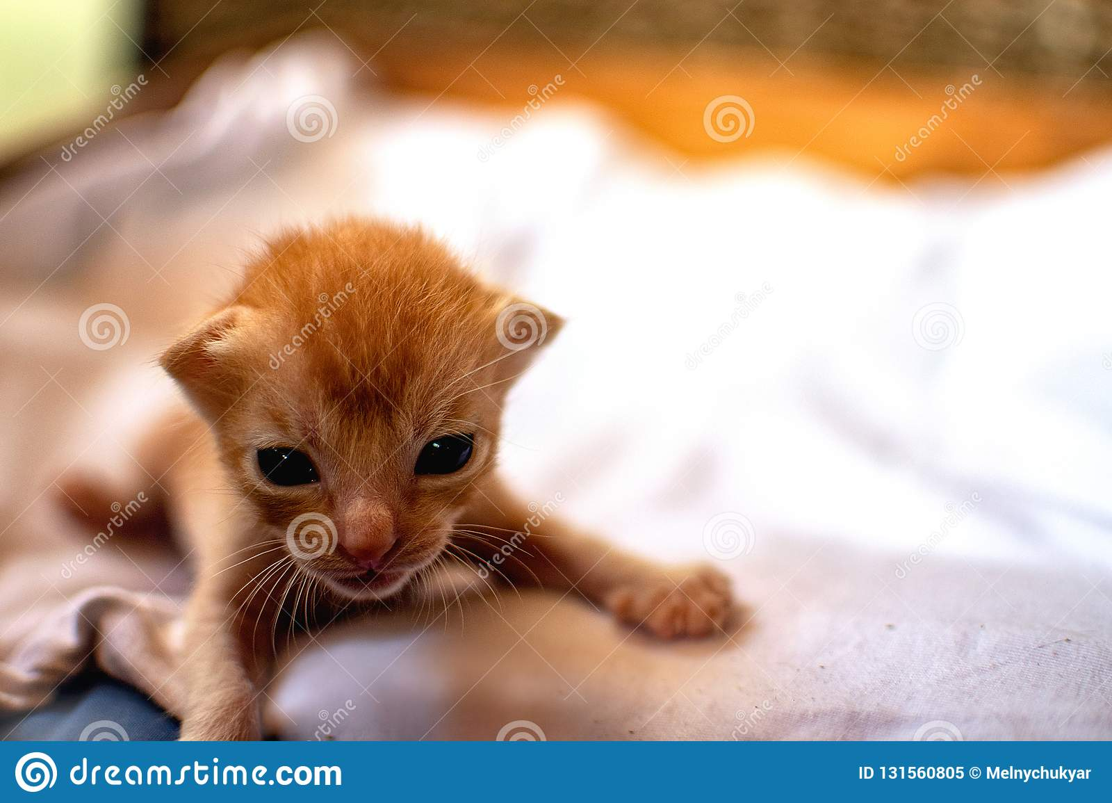 Newborn Red Kitten New Born Baby Cat Cute Baby Cat Close Photo