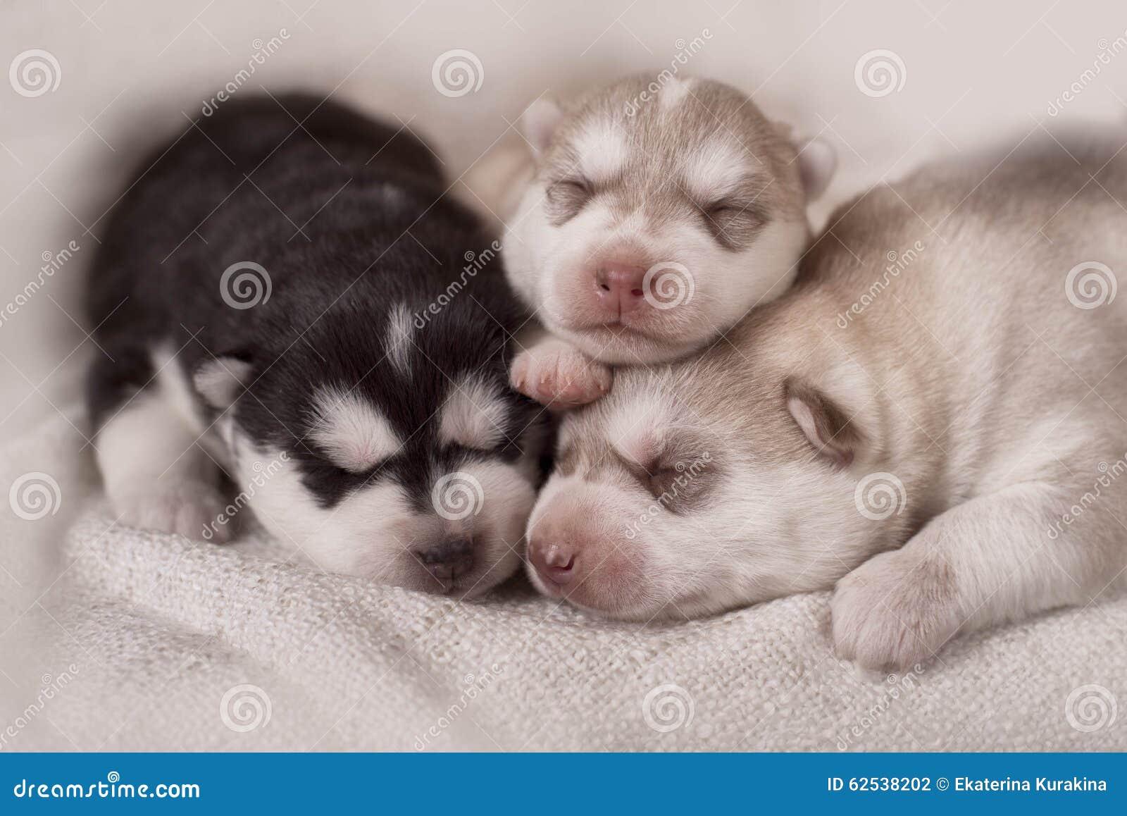 Newborn Siberian Husky Puppies Stock Photo - Image: 62538202