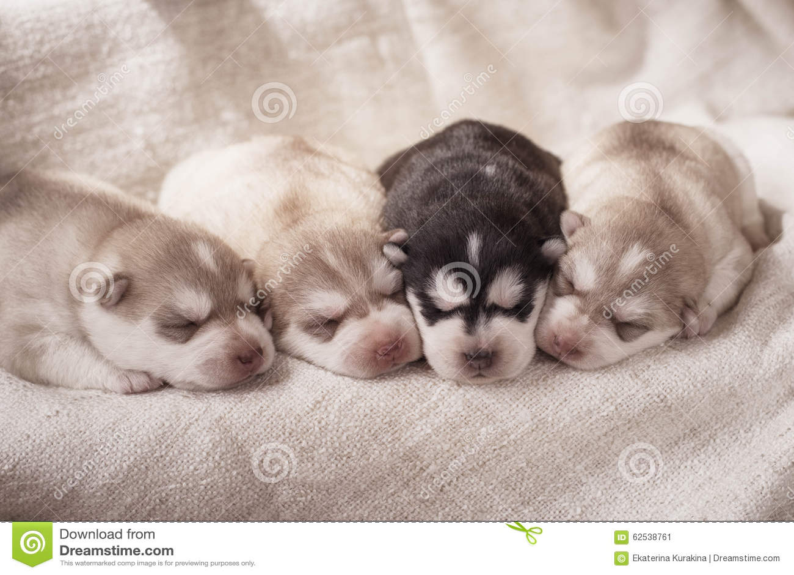 Newborn Siberian Husky Puppies Stock Image Image Of Lovely