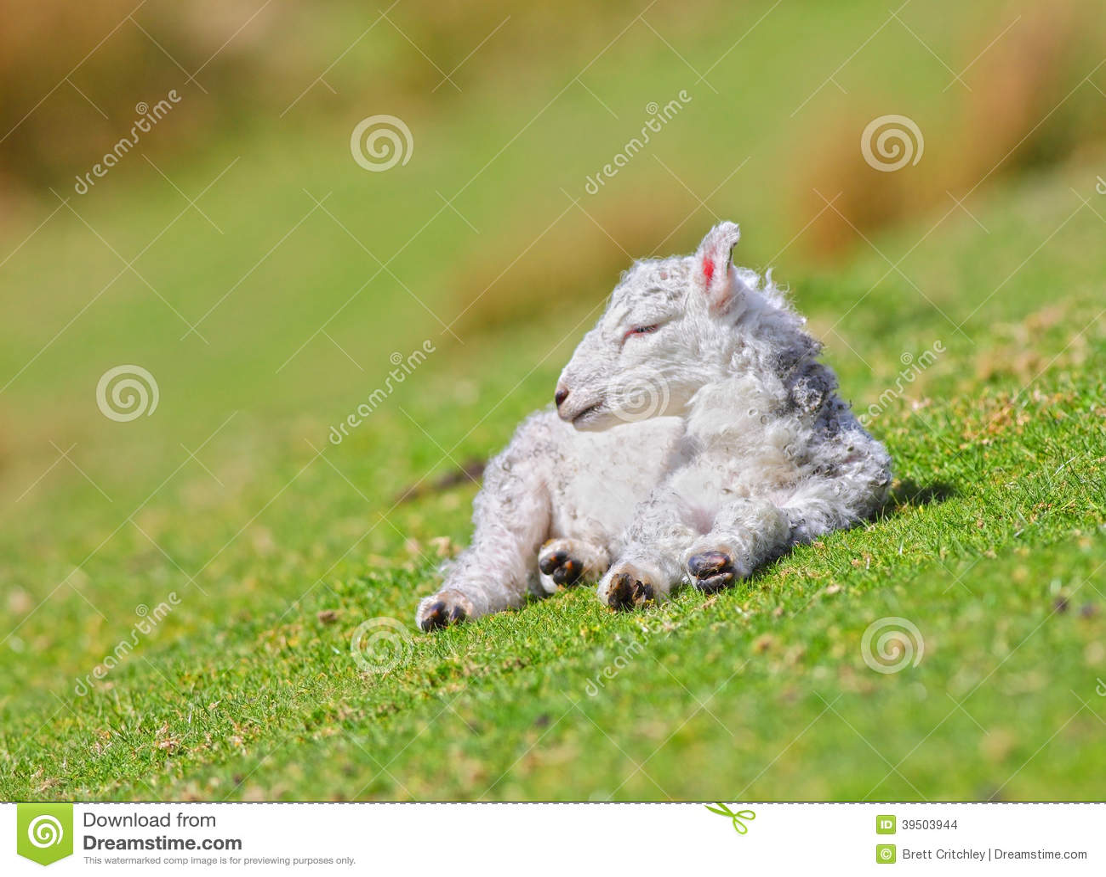Newborn white lamb