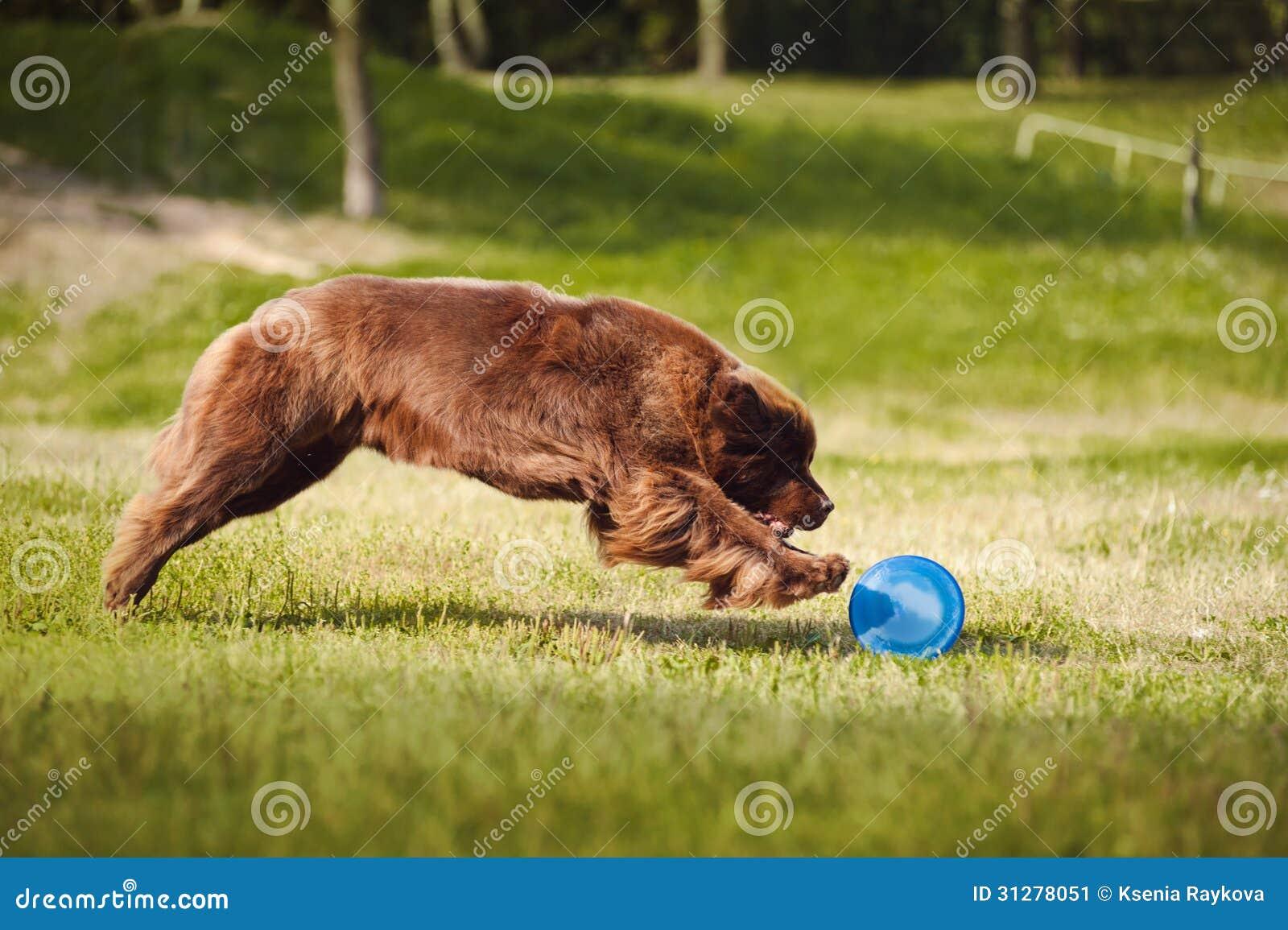 Newfoundland hund som fångar frisbeen