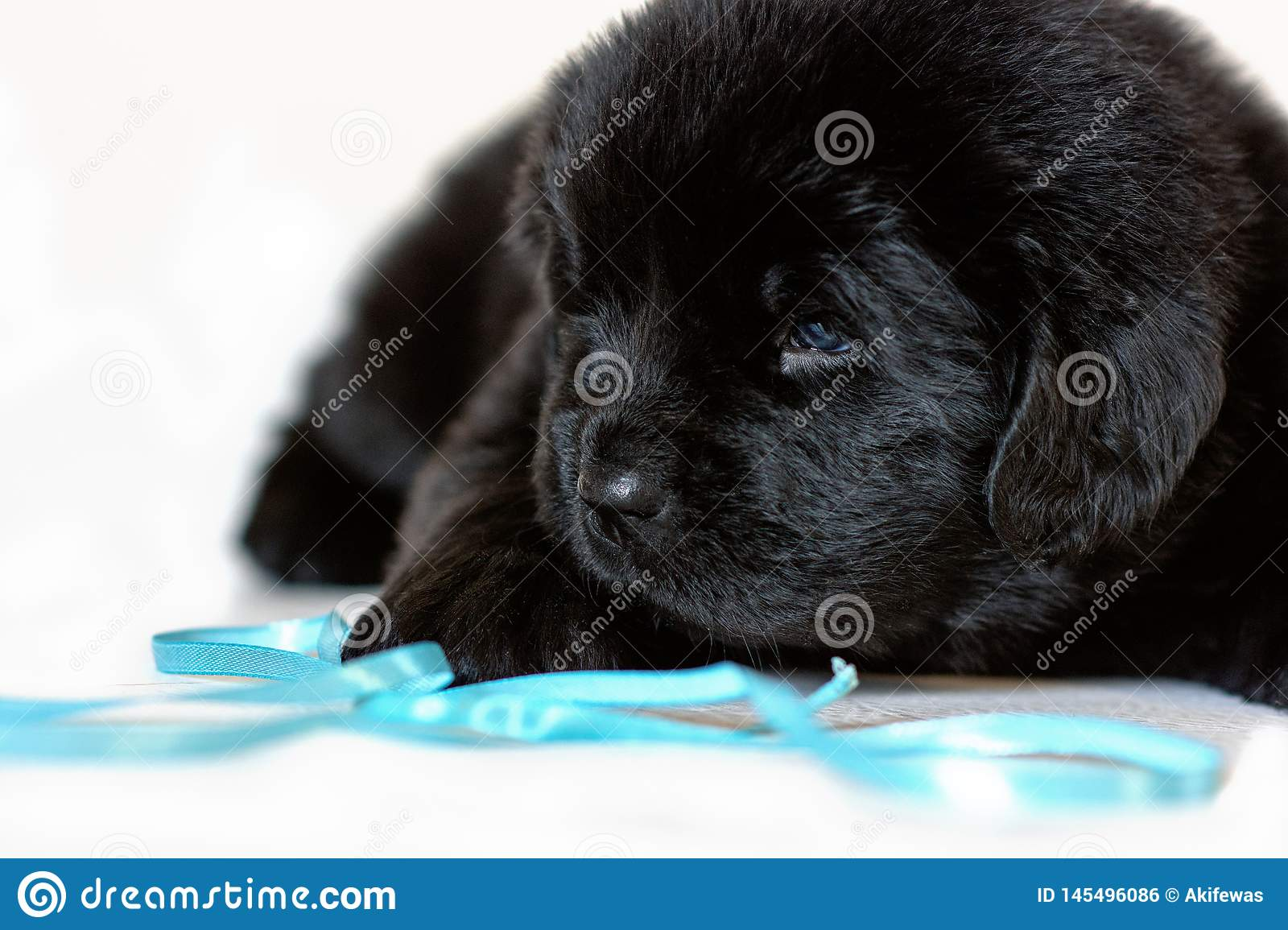 The Newfoundland puppy dog lies sad, on a white background