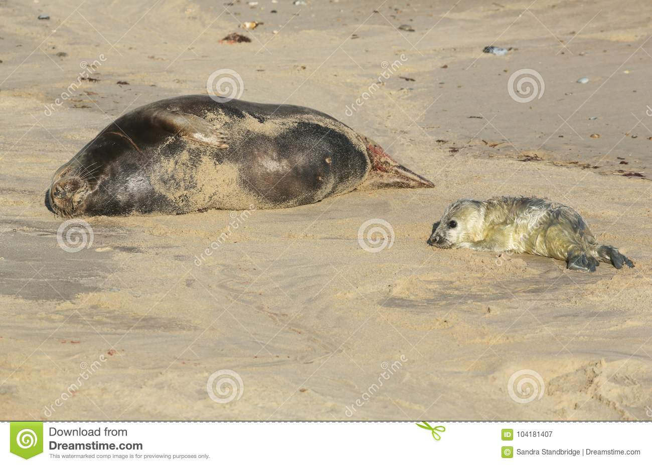 A newly born Grey Seal pup Halichoerus grypus lying on the beach near its resting mother at Horsey, Norfolk, UK.