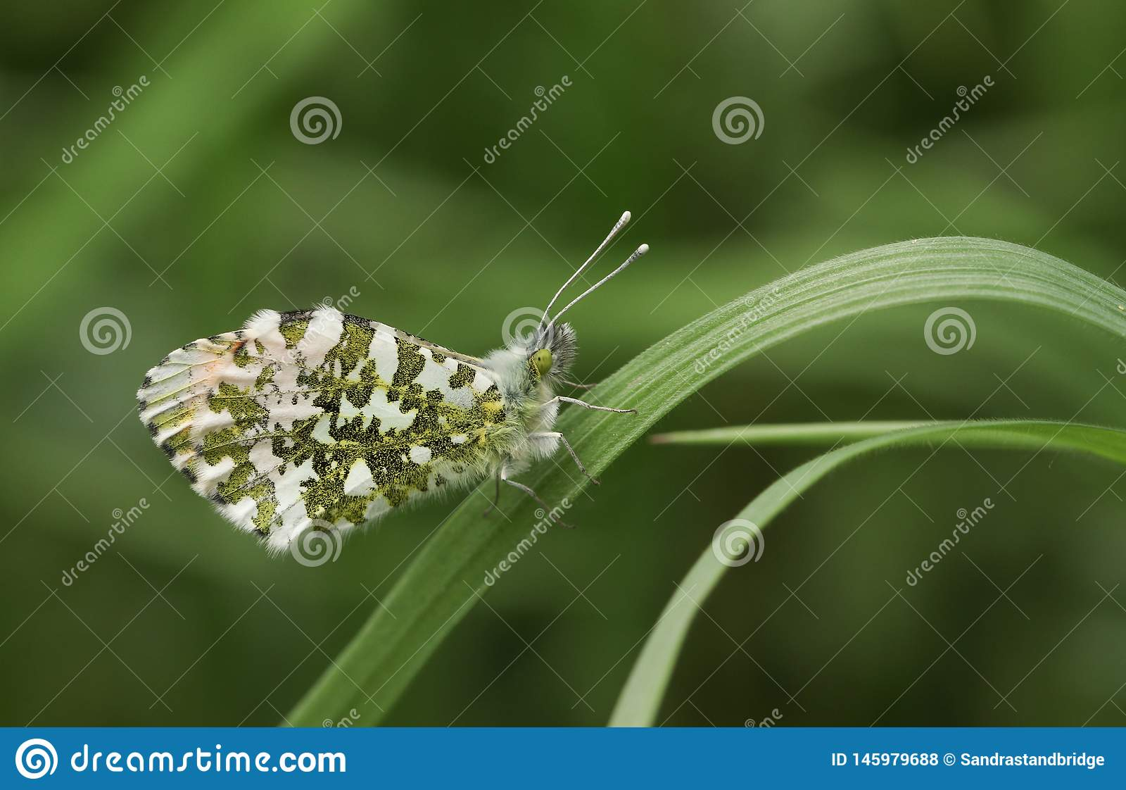 A newly emerged male Orange-tip Butterfly Anthocharis cardamines perched on a blade of grass.