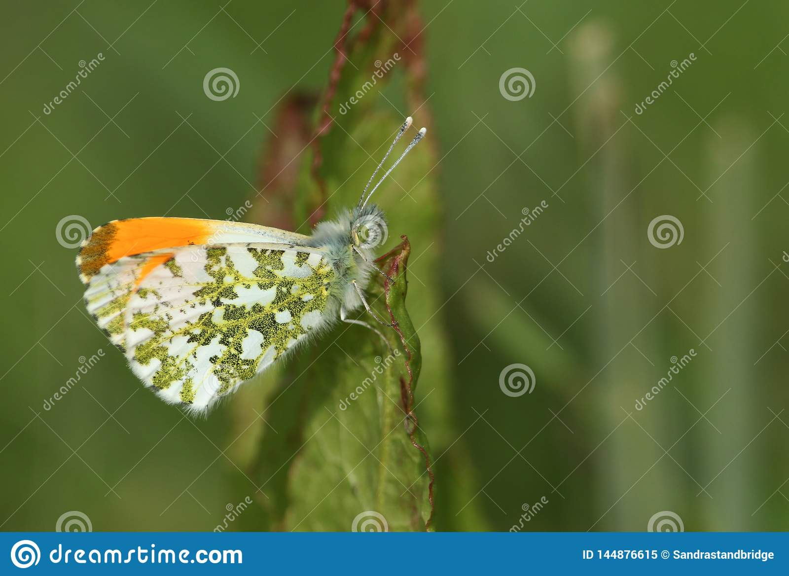A newly emerged male Orange-tip Butterfly, Anthocharis cardamines, perched on a leaf.