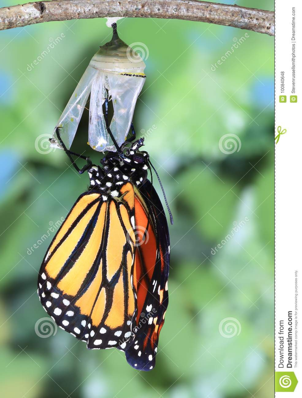 A Monarch Butterfly newly emerged.