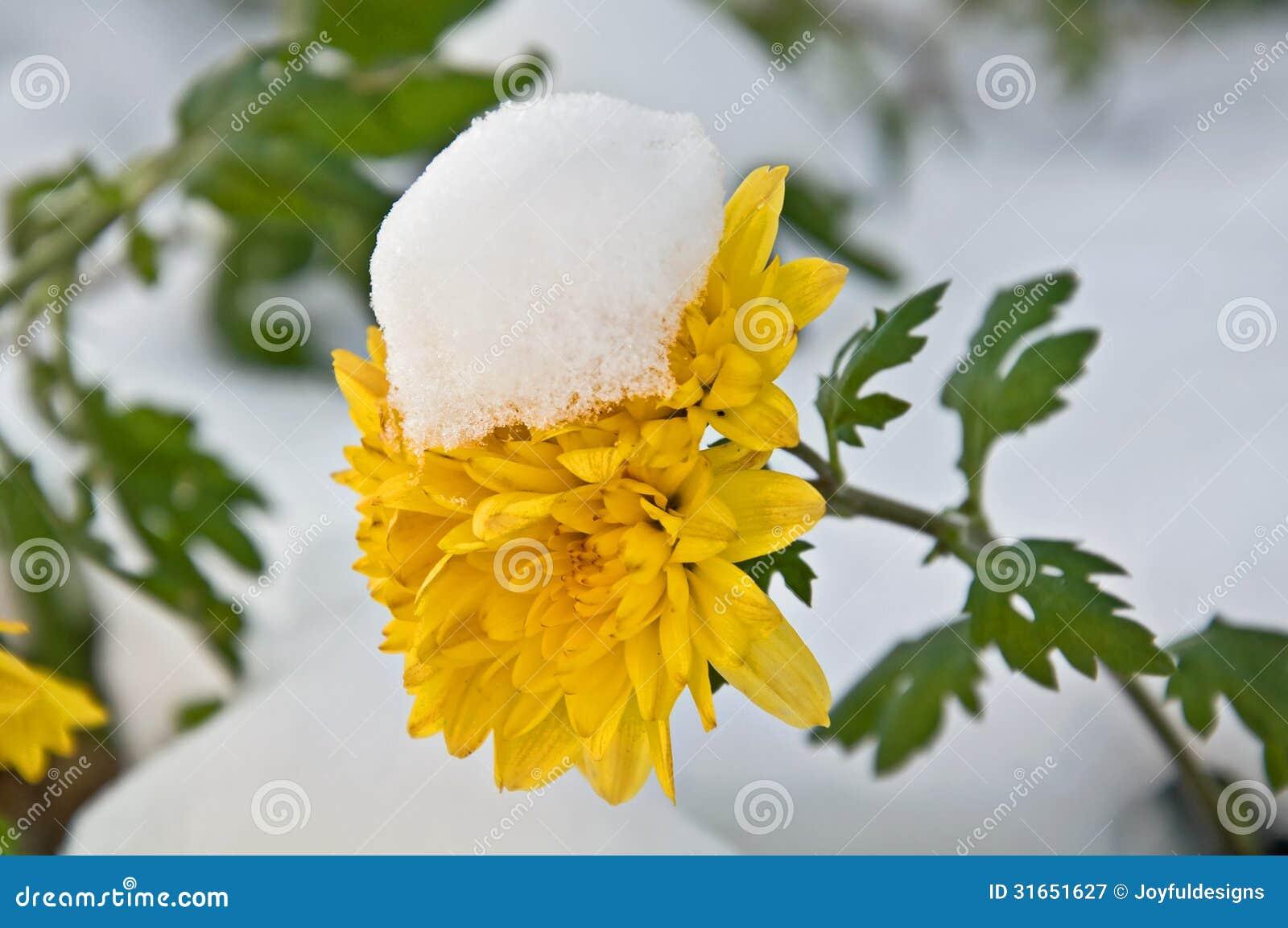 Newly Fallen Snow On Yellow Mum Flower Stock Image Image Of Nobody