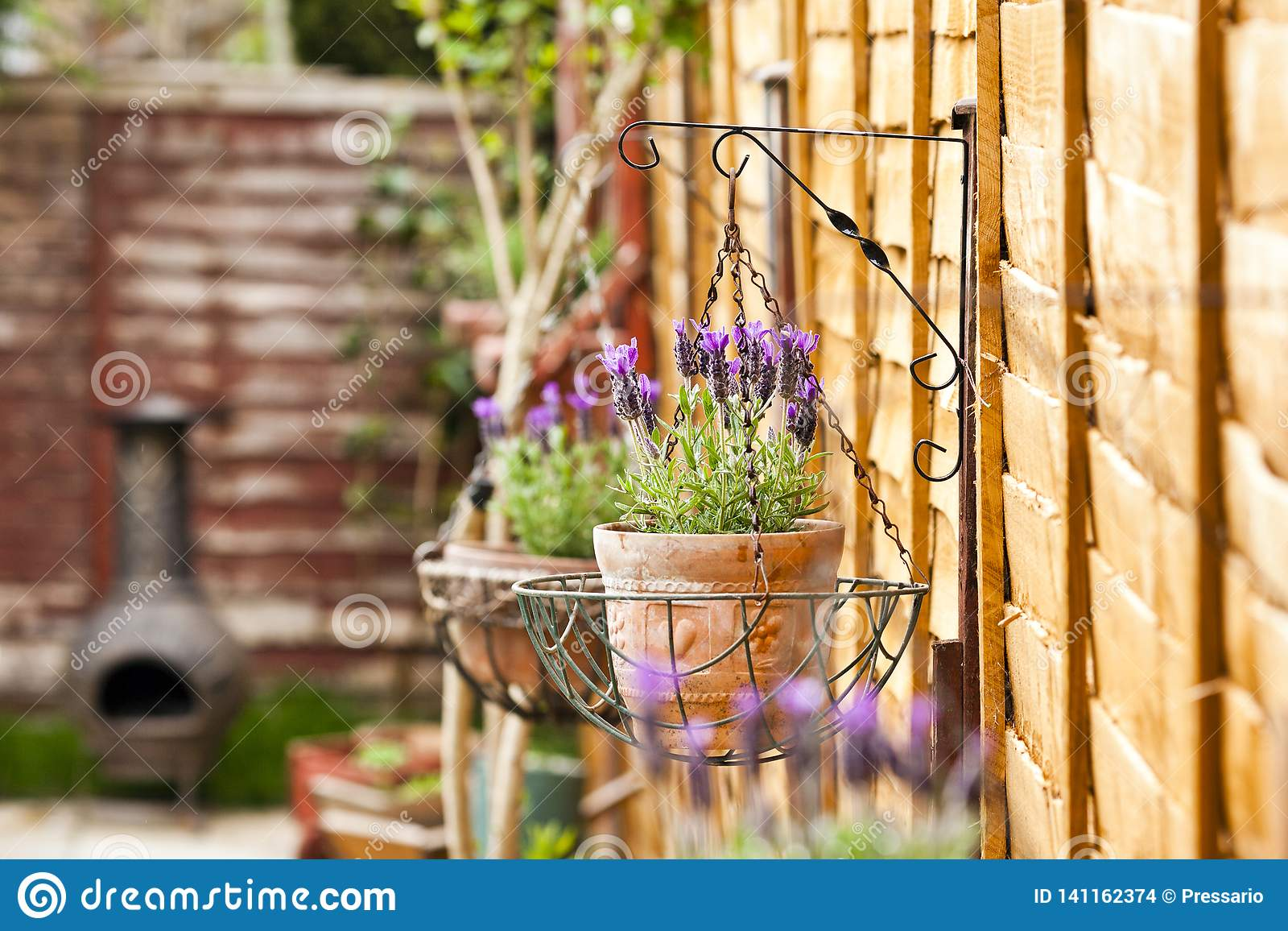 Newly grown french lavender healthy plant in a home relaxing garden spot