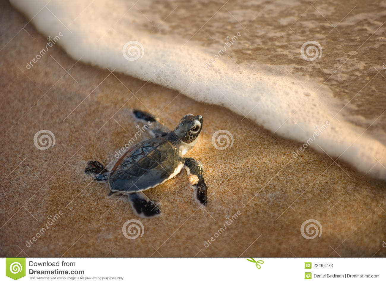 Newly hatched baby turtle toward the ocean stock image image of download newly hatched baby turtle toward the ocean stock image image of wave marine publicscrutiny Image collections