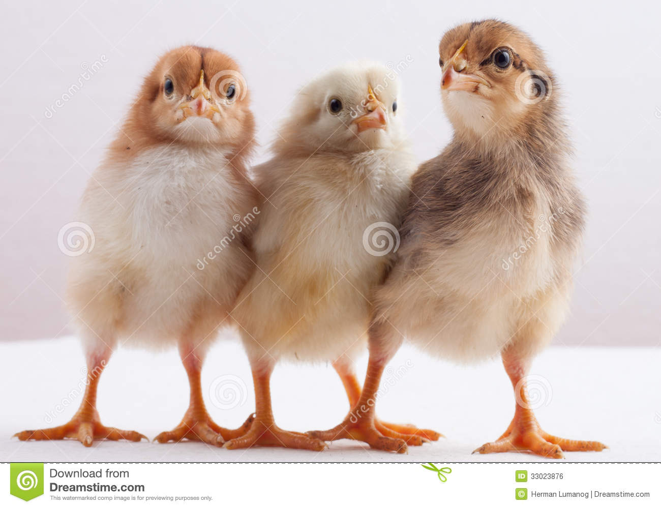 newly hatched chick stock photo image of chick chicken 33023876
