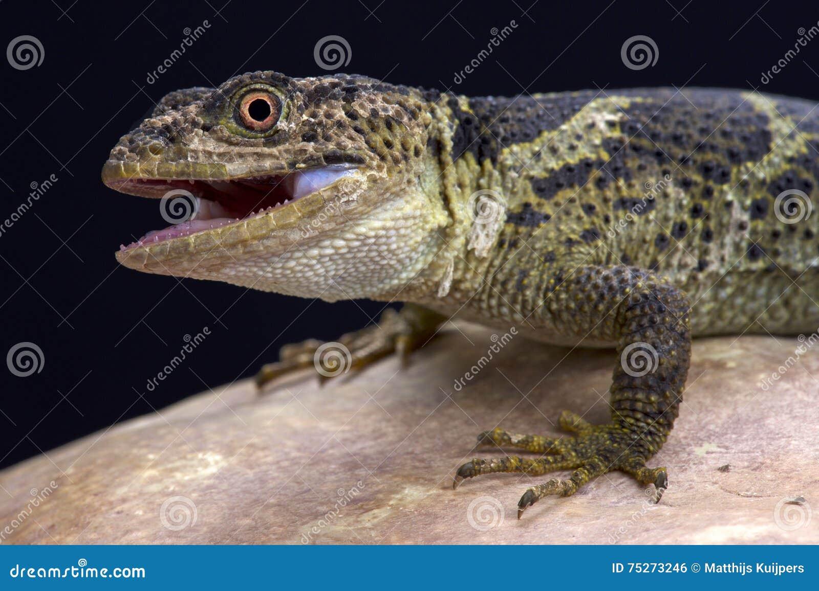 Newman ważąca jaszczurka (Xenosaurus newmanorum)