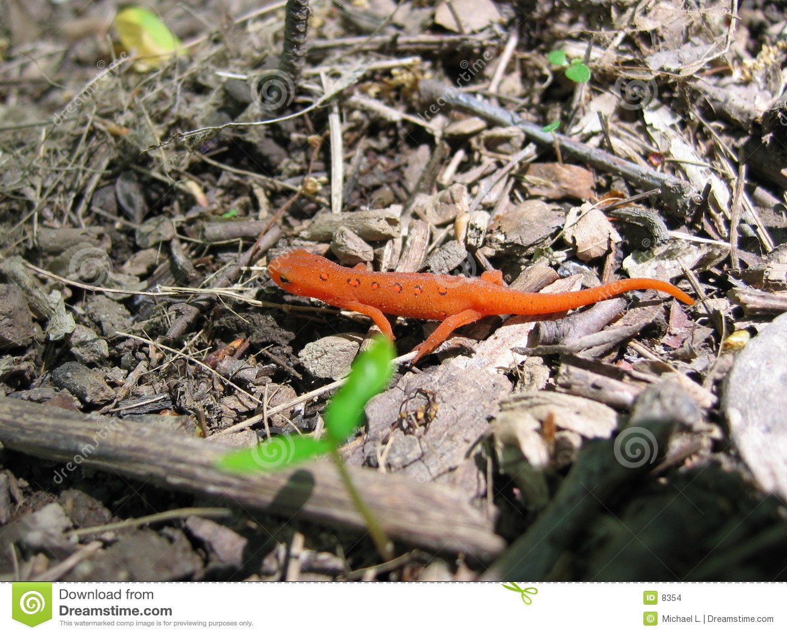 Newt manchado vermelho 2