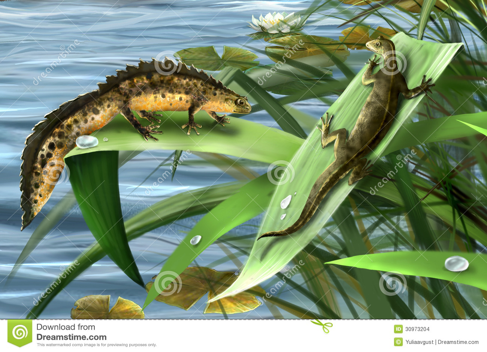 Newts family, newts love. amphibian salamander