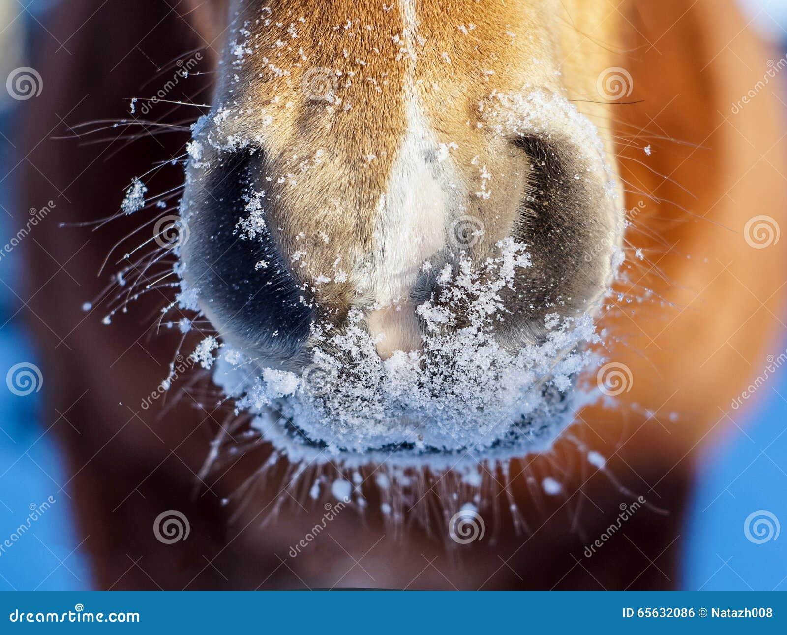 Nez de cheval rouge