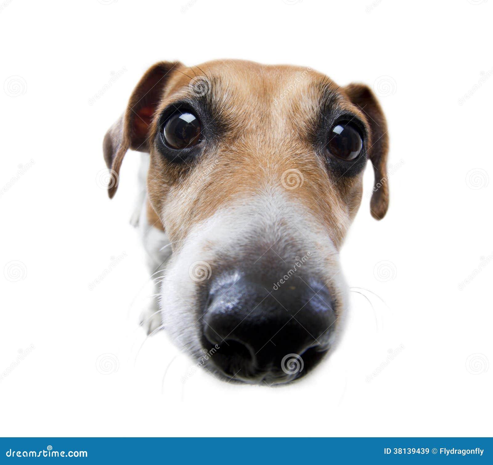 nez de chien dr le image stock image du animal fond 38139439. Black Bedroom Furniture Sets. Home Design Ideas