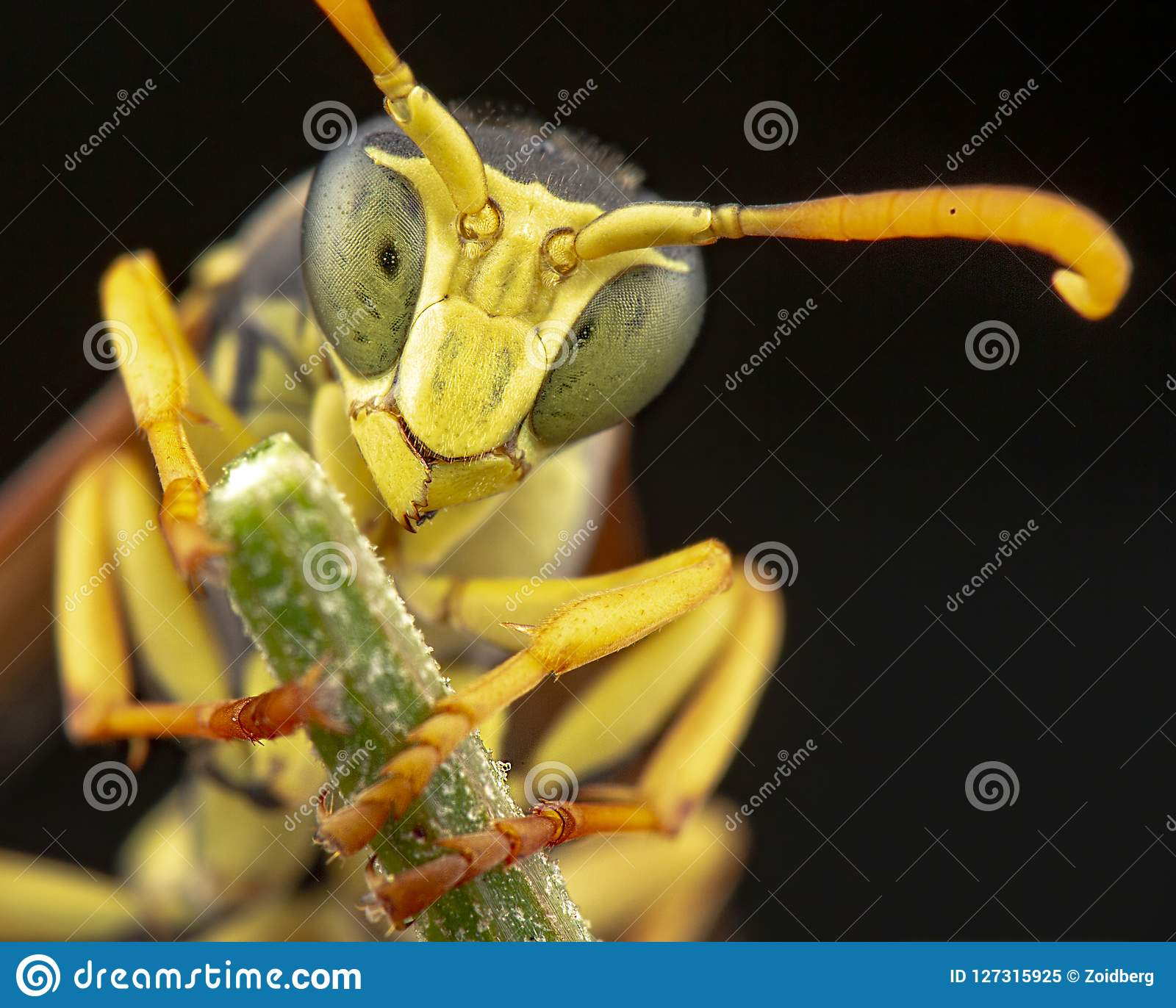 Nezara Viridula στο κίτρινο λουλούδι