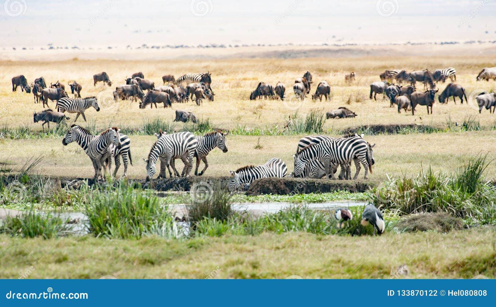 Drinking Zebras, grazing Gnus, Birds in Ngorongoro Crater