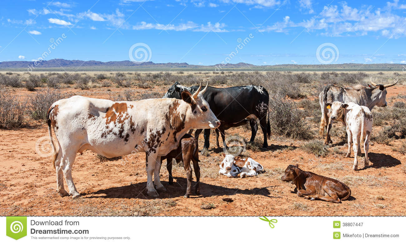 farmer breeds success nguni cattle