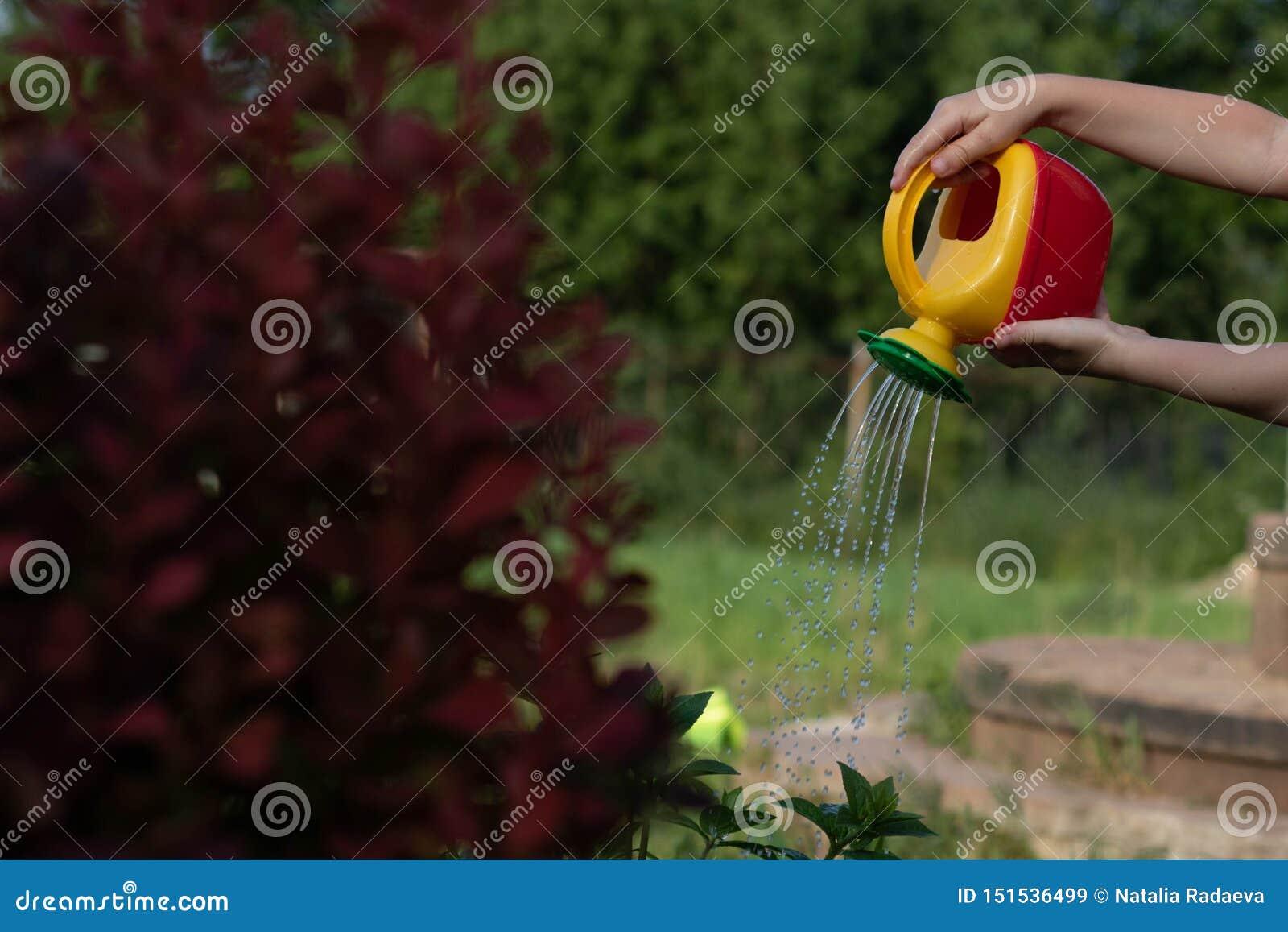 Niño que riega un arbusto de una regadera rojo-amarilla La foto muestra las manos de un niño, ninguna cara El niño ayuda a la mam