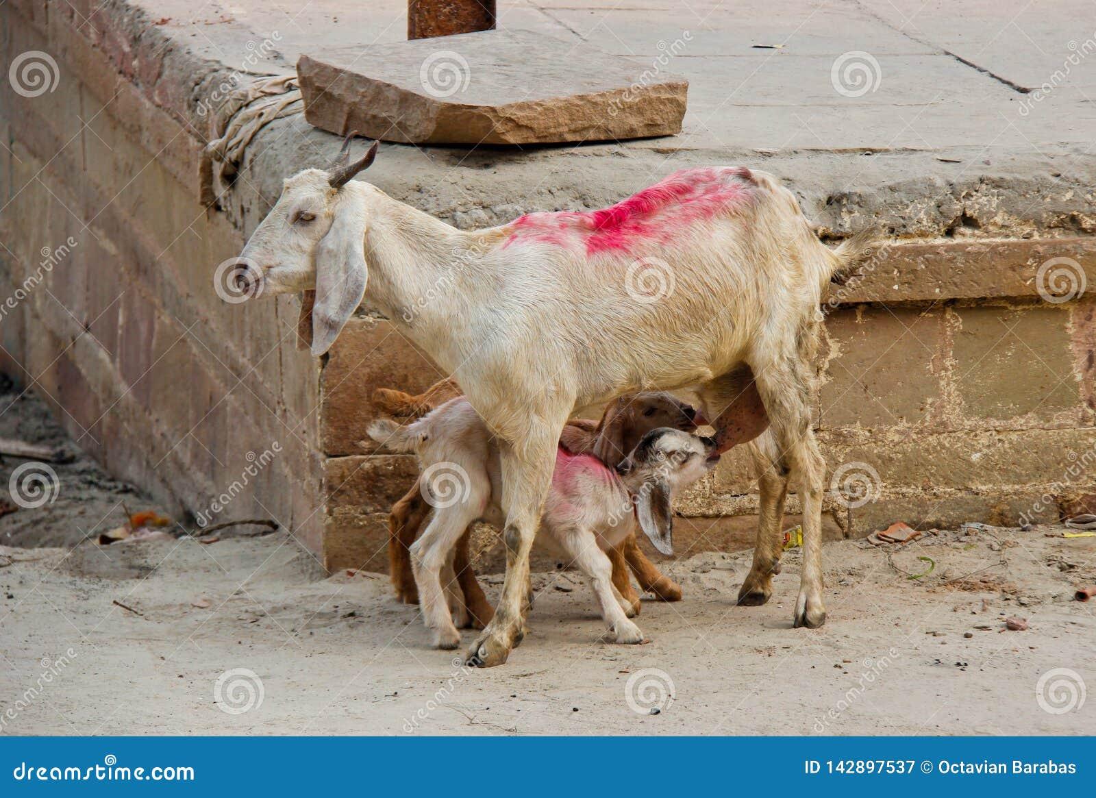 Niños de la cabra que gozan de la leche fresca cerca del río Ganges en la India