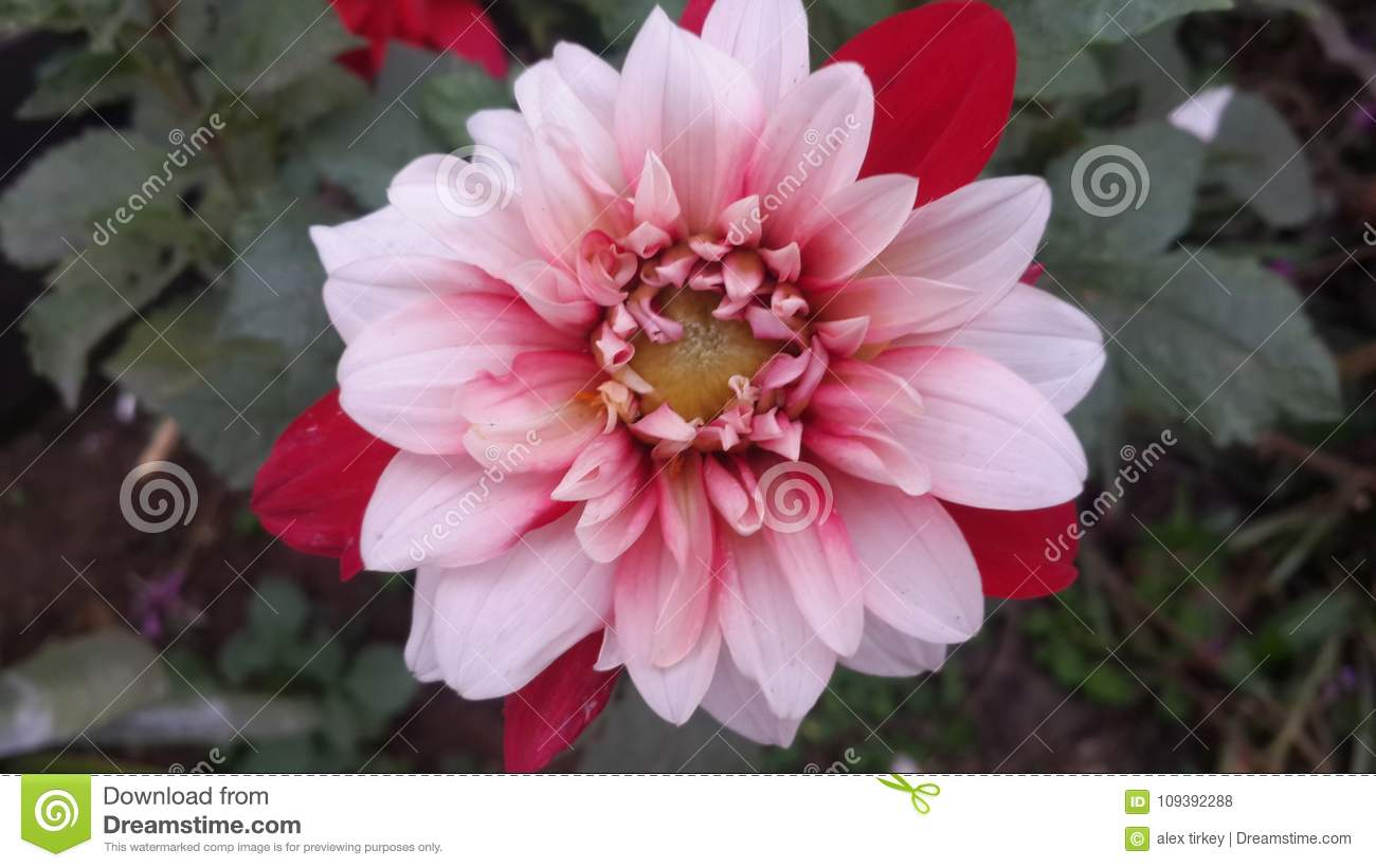 Flowers Stock Photo Image Of Beautiful Gardan India 109392288
