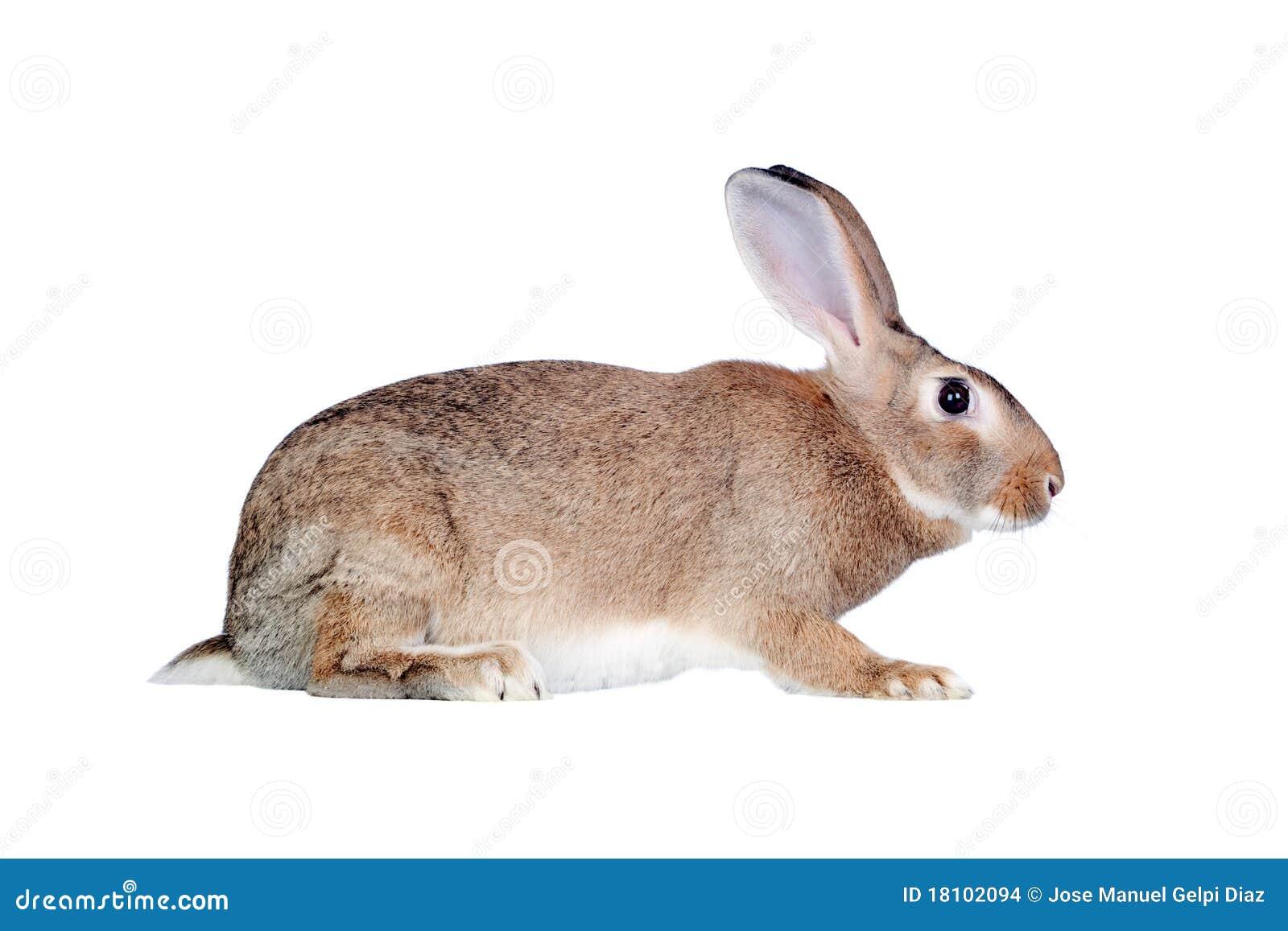 Nice brown bunny stock images image 18102094