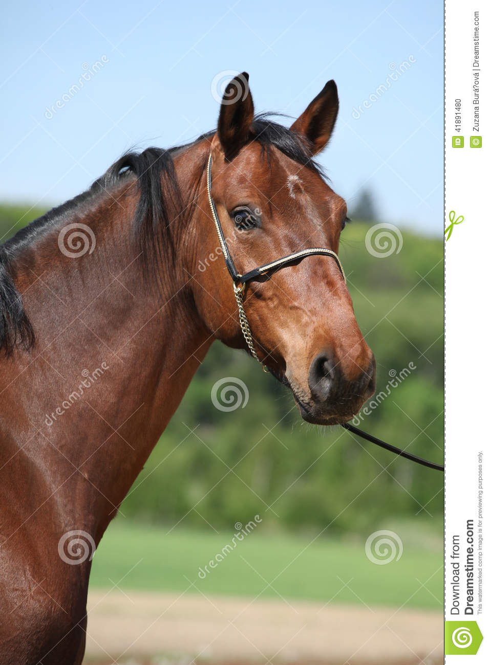 Nice Brown Horse With Show Halter, Looking At You Stock ...