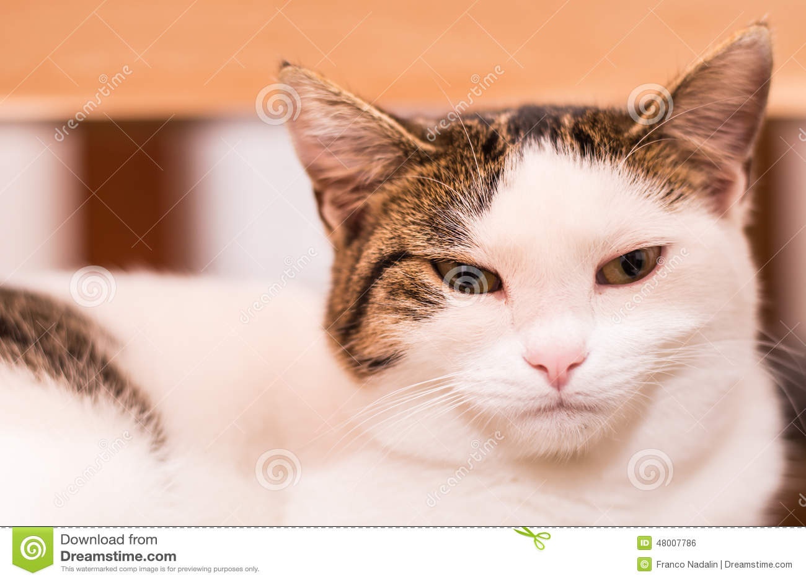 double paw cat