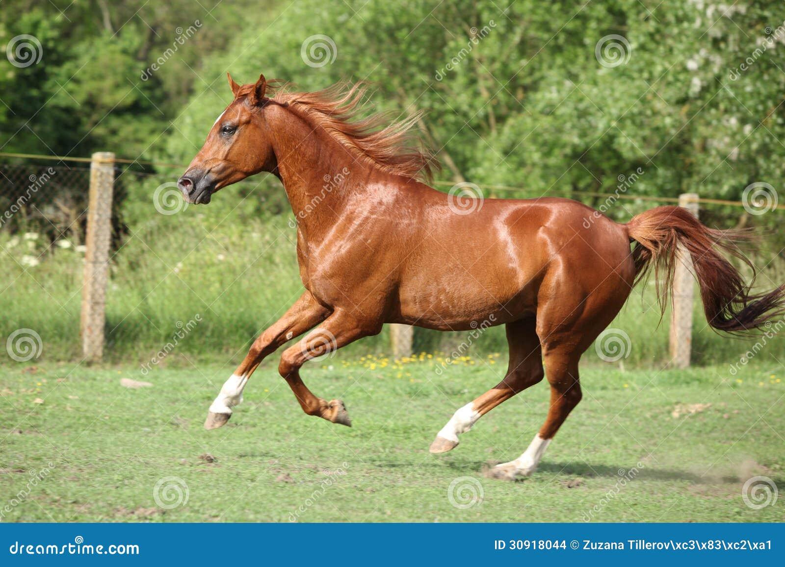 Chestnut arabian horses - photo#22