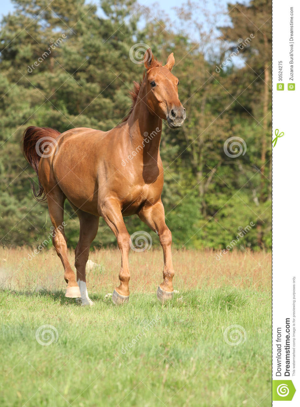 Nice Chestnut Horse Running In Freedom Royalty Free Stock ...