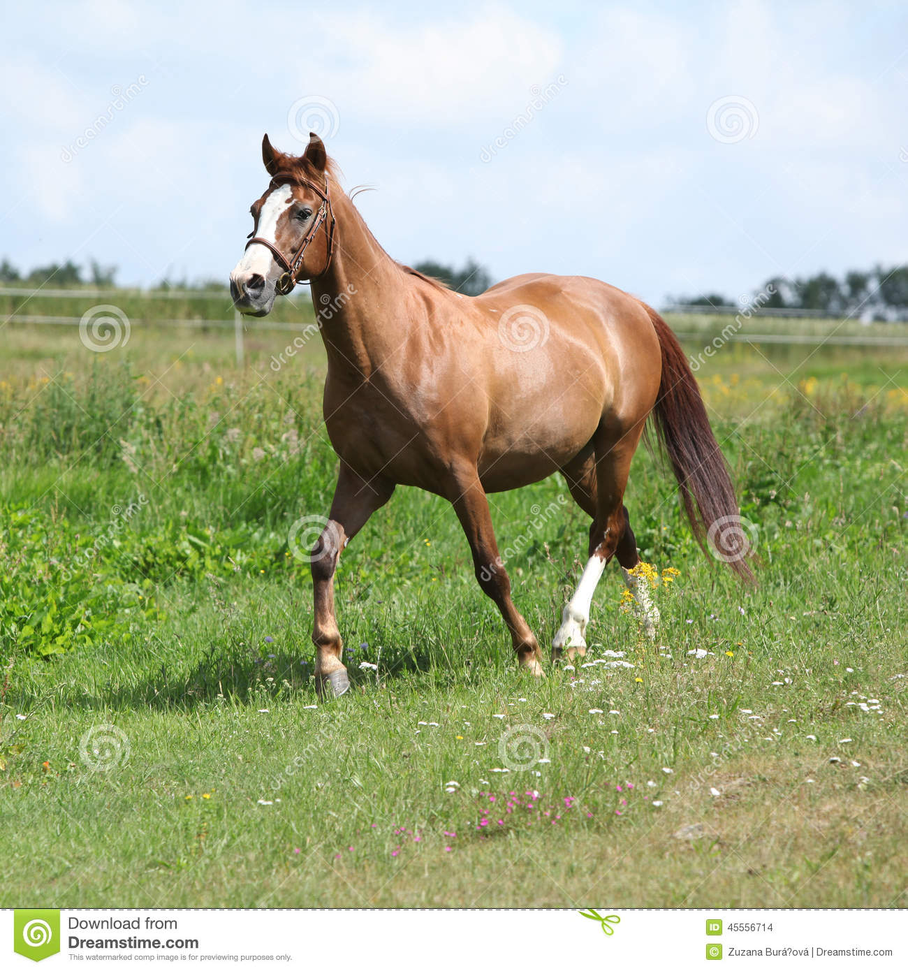 Nice Chestnut Horse Running On Meadow Stock Photo - Image ...