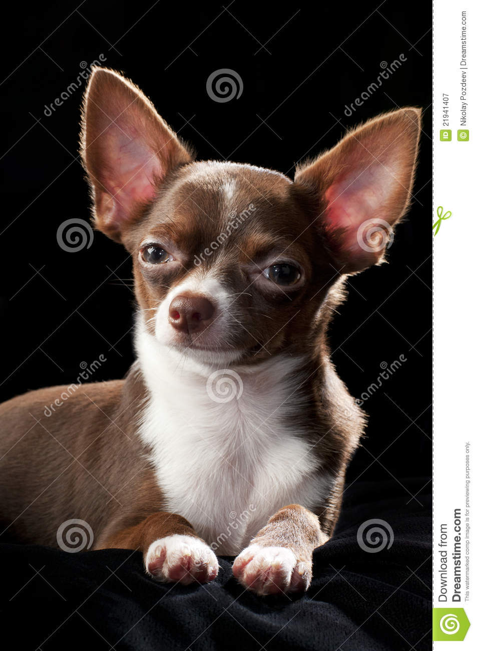 Nice Chocolate Brown With White Chihuahua Dog Royalty Free ...