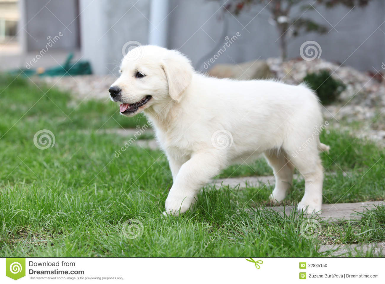 Nice Cream Golden Retriever Moving Stock Photo - Image ...