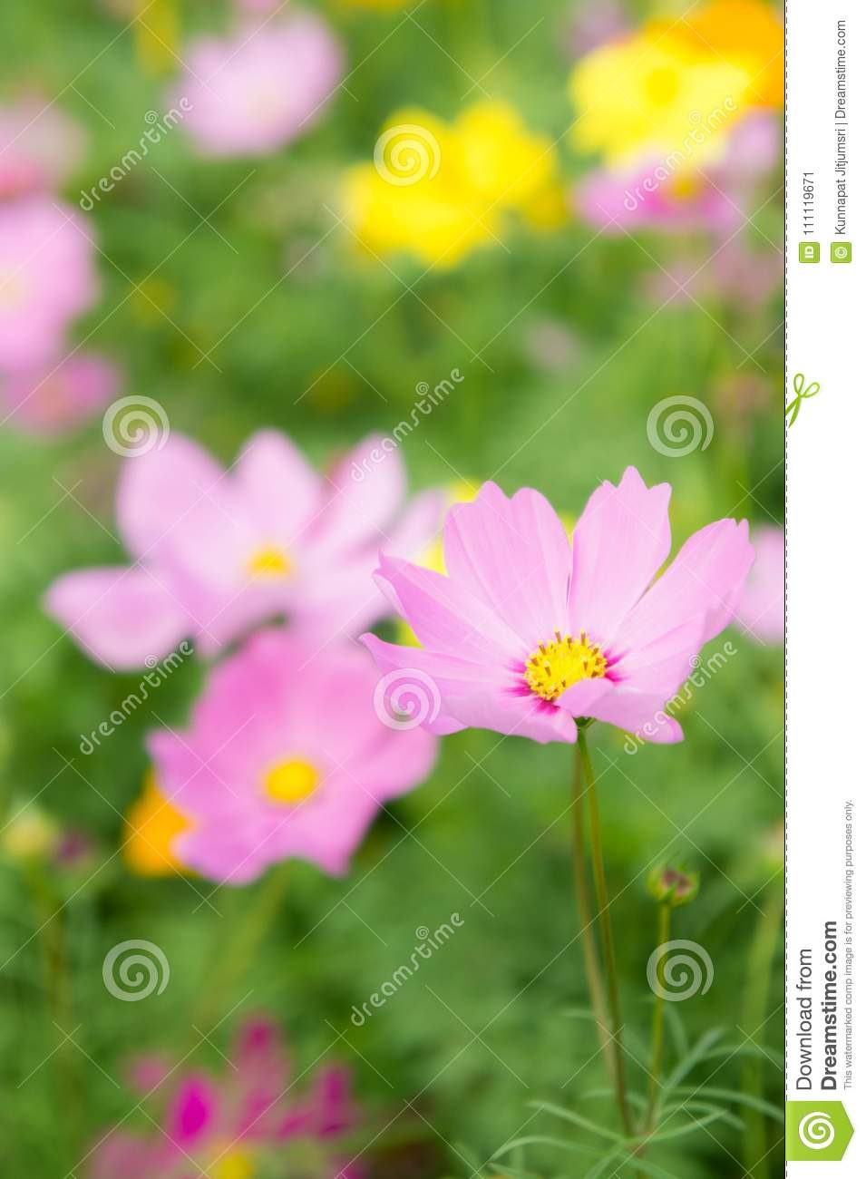 The nice day and nice flowers cosmos colorful on field pink flowers the nice day and nice flowers cosmos colorful on field pink flowers daisy flowers nature garden izmirmasajfo