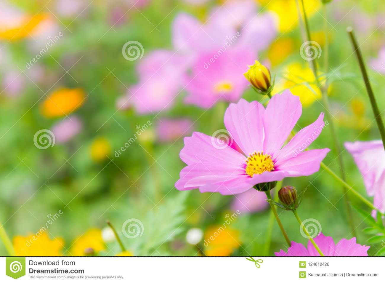 The nice day and nice flowers cosmos colorful on field pink flowers download the nice day and nice flowers cosmos colorful on field pink flowers daisy flowers nature mightylinksfo