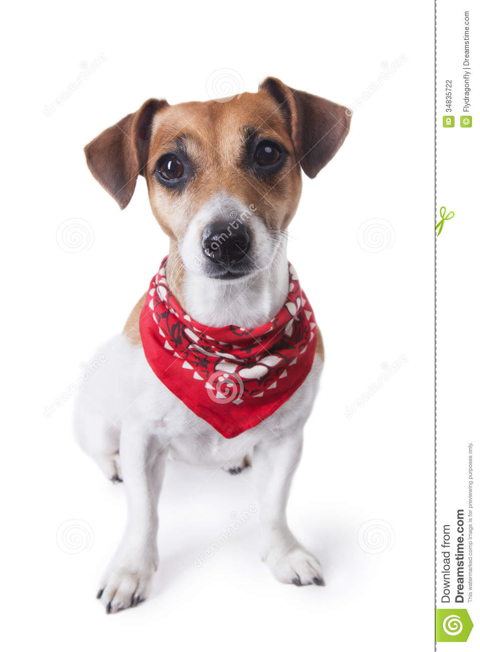 Cute little dog sitting in a trendy red bandana and looking to the ...