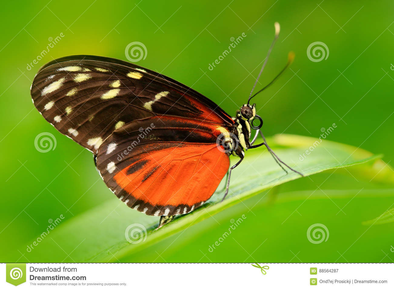 Nice insect from Costa Rica in the green forest. Butterfly sitting on the leave from Panama. Butterfly with ping flower. Wildlife