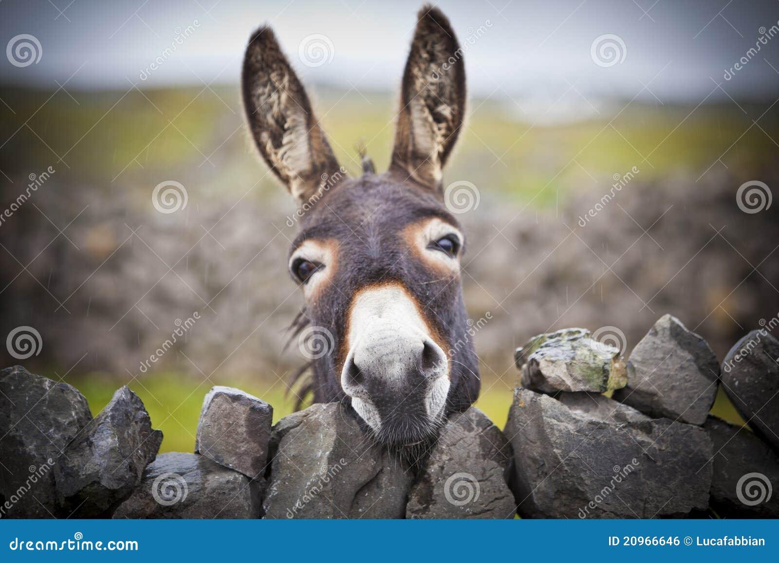 Nice Irish Donkey Behind A Stone Wall Royalty Free Stock